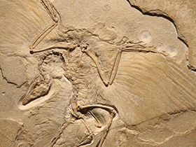 Fossilplatte des Archaeopteryx / © Uwe Jelting. Creative Commons 4.0 International (CC BY 4.0)