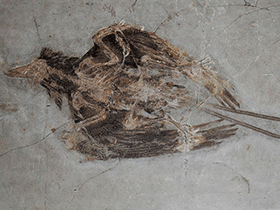 Fossil des Confuciusornis / © paleo_bear (Flickr.com) - bearbeitet durch Dinodata.de. Creative Commons 2.0 Generic (CC BY 2.0)
