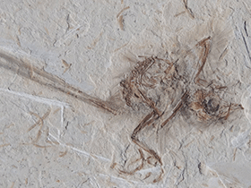 Fossil des Cratoavis / © Carvalho et al. Creative Commons 4.0 International (CC BY 4.0)