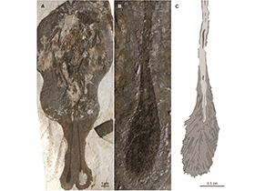 Fossil des Dapingfangornis / © O'Connor et al.  Creative Commons 3.0 Unported (CC BY 3.0)