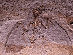 Fossil des Liaoxiornis / © il_gatto_nero (Flickr.com). Creative Commons 2.0 Generic (CC BY-NC 2.0)