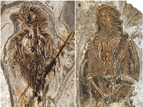 Fossil des Protopteryx  / © O'Connor et al. Creative Commons 4.0 International (CC BY 4.0)