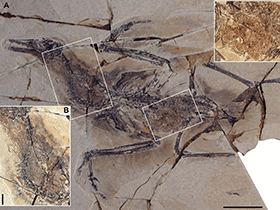 Fossil des Yanornis / © Zheng et al. Creative Commons 4.0 International (CC BY 4.0)