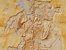 Fossil (BMNHC Ph 756)  / © Zhang et al. Creative Commons 4.0 International (CC BY 4.0)
