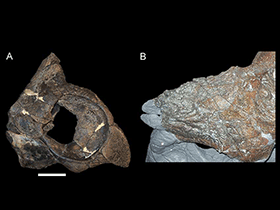 Kieferelemente des Achelousaurus © PLOS ONE. Creative Commons 4.0 International (CC BY 4.0)