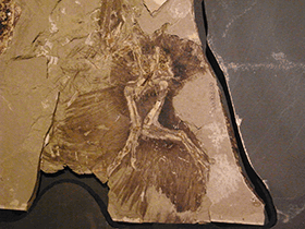 Fossil des Anchiornis / © Kumiko (Flickr.com). Creative Commons 2.0 Generic (CC BY-SA 2.0)