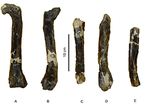 Femur und Tibia von Aniksosaurus /© Ibiricu et al. Creative Commons 4.0 International (CC BY 4.0)