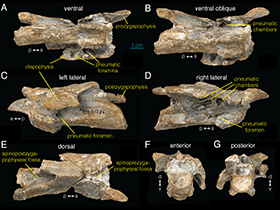 Wirbel des Archaeornithomimus / © Watanabe et al. Creative Commons 4.0 International (CC BY 4.0)