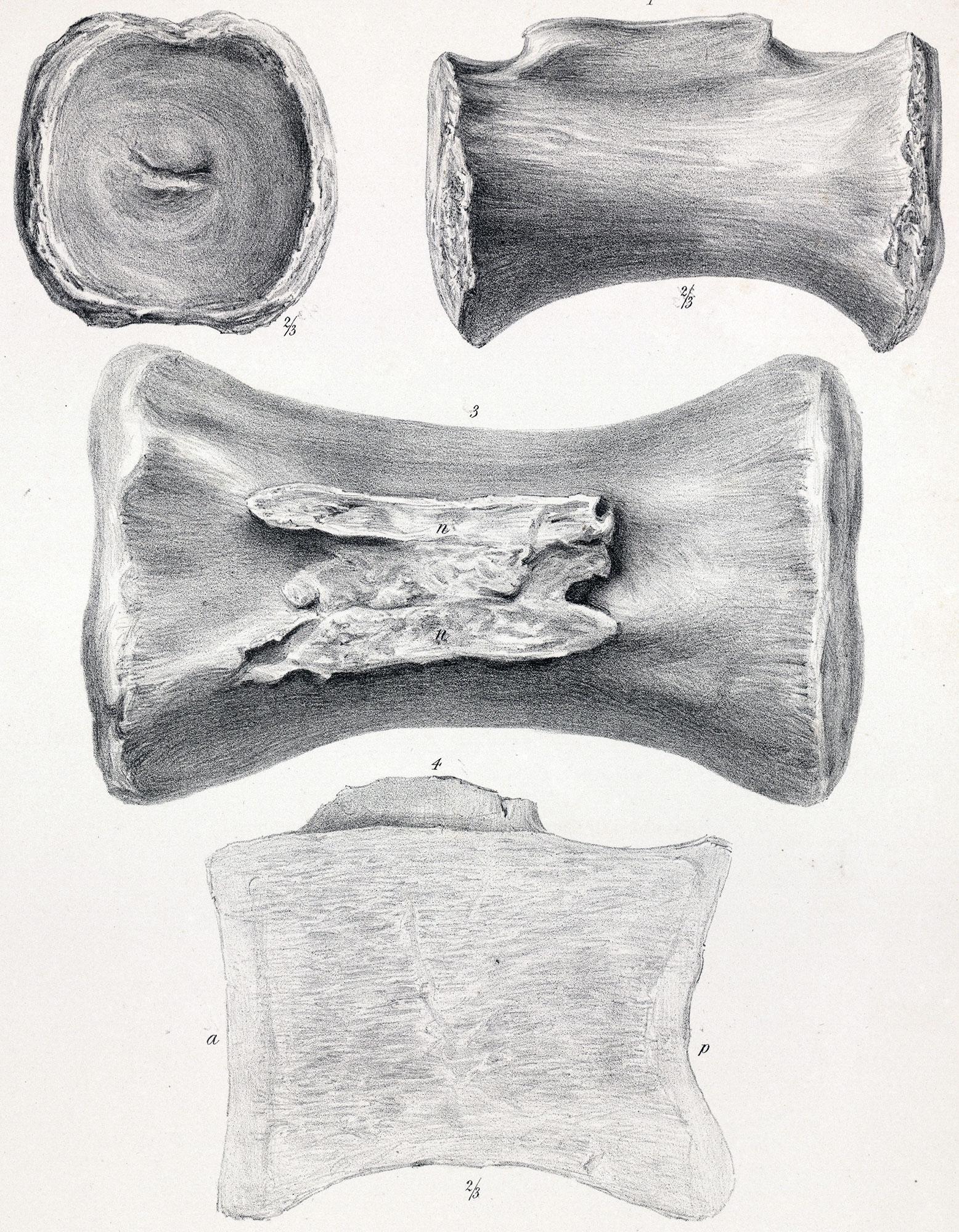 Cetiosaurus oxoniensis - Beschreibung, Dinodata.de