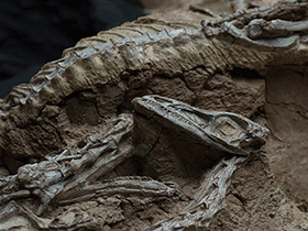 Fossil des Coelophysis / © Mark Ryan (Flickr.com). Creative Commons 2.0 Generic (CC BY-NC-ND 2.0)