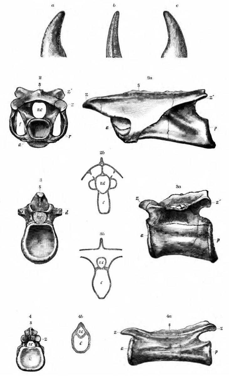 Coelurus fragilis - Beschreibung, Dinodata.de