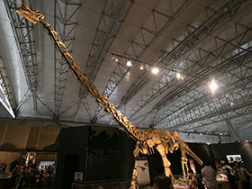 Skelett des Huabeisaurus / © Kabacchi (Flickr.com). Creative Commons 2.0 Generic (CC BY 2.0)