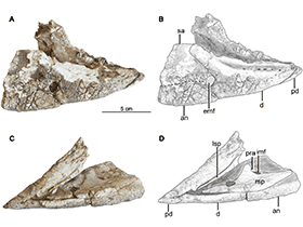 Mandibula des  Hualianceratops / © Han et al. Creative Commons 4.0 International (CC BY 4.0)