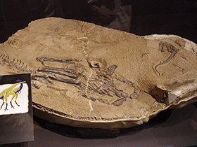 Fossil des Limusaurus / © Tomoaki Inaba (Flickr.com). Creative Commons 2.0 Generic (CC BY-SA 2.0)