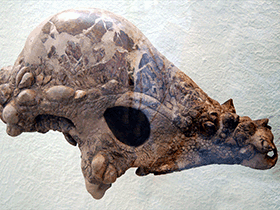 Schädel des Pachycephalosaurus / © Dan McCay (Flickr.com). Creative Commons 2.0 Generic (CC BY 2.0)