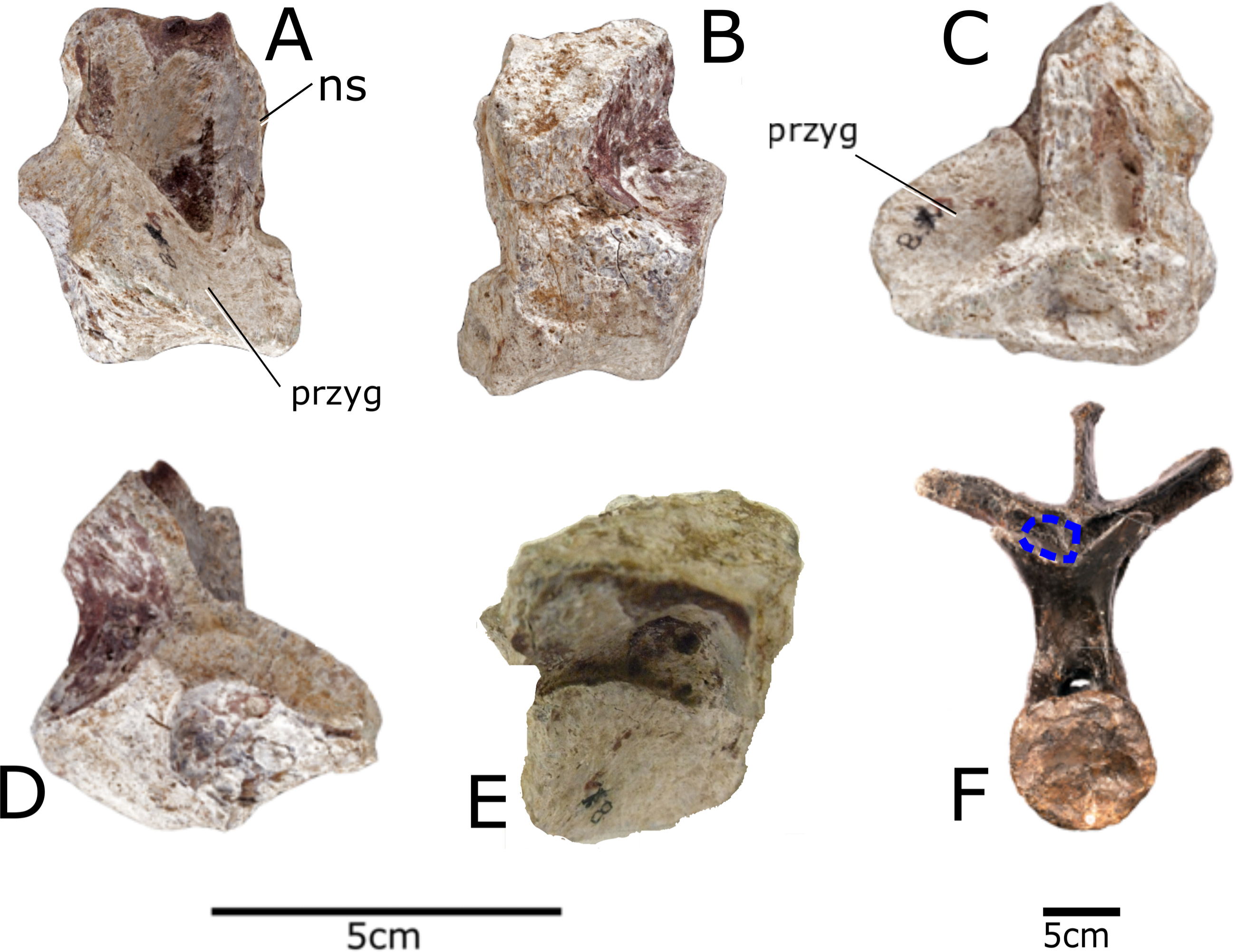 Paranthodon africanus - Beschreibung, Dinodata.de