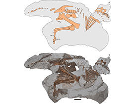 Parasaurolophus-Fossil / © Farke et al. Creative Commons 4.0 International (CC BY 4.0)