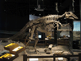 Skelett des Prosaurolophus / © Craig Dylke (Flickr.com). Creative Commons 2.0 Generic (CC BY-NC-ND 2.0)
