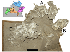 Fossilien des Protoceratops / Hone et al. Creative Commons 4.0 International (CC BY 4.0)