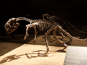 Skelett des Psittacosaurus / © Jordi Payà (Flickr.com). Creative Commons 2.0 Generic (CC BY-SA 2.0)
