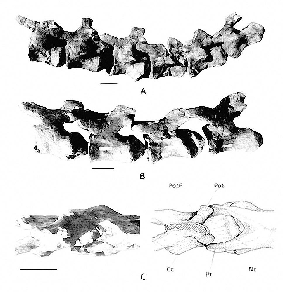 Rinconsaurus caudamirus - Beschreibung, Dinodata.de