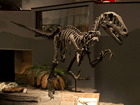 rekonstruiertes Skelett des Utahraptor / © Zach Tirell (Flickr.com). Creative Commons 2.0 Generic (CC BY-SA 2.0)