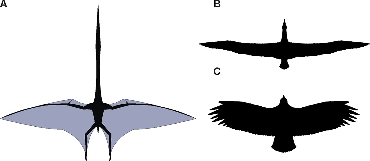 Dynamic Soaring How the Wandering Albatross Can Fly for