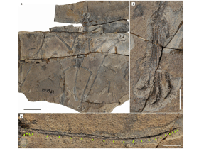 Fossil des Douzhanopterus / © Wang et al. Creative Commons 4.0 International (CC BY 4.0)