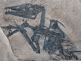 Fossil des Eudimorphodon © the_paleobear (Flickr.com). Creative Commons 2.0 Generic (CC BY 2.0)