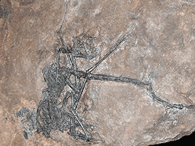 Fossil des Peteinosaurus / © paleo_baer (Flickr.com). Creative Commons 2.0 Generic (CC BY 2.0)