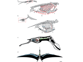 Atem-Kinematik des Rhamphorhynchus / © Claessens et al. Creative Commons 4.0 International (CC BY 4.0)